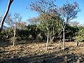 Myrtillocactus geometrizans (5707412528).jpg