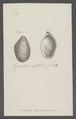 Mytilus bilocularis - - Print - Iconographia Zoologica - Special Collections University of Amsterdam - UBAINV0274 076 01 0009.tif