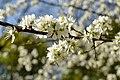 NSG Ithwiesen - Südlicher Teil bei Holzen - Blühender Schlehdorn (Prunus spinosa) (3).jpg