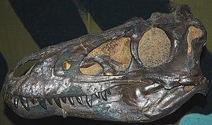 Nanotyrannus - Holotype skull