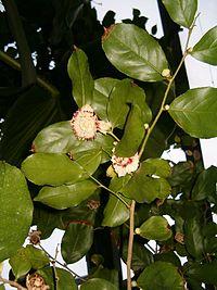 Napoleonaea vogelii BotGardBln27120C