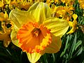 Narcissus-6363.jpg