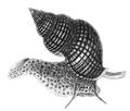 Natural History - Mollusca - Whelk.png