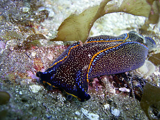 <i>Navanax inermis</i> species of mollusc