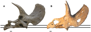 Nedoceratops - Skull comparisons of Triceratops and Nedoceratops