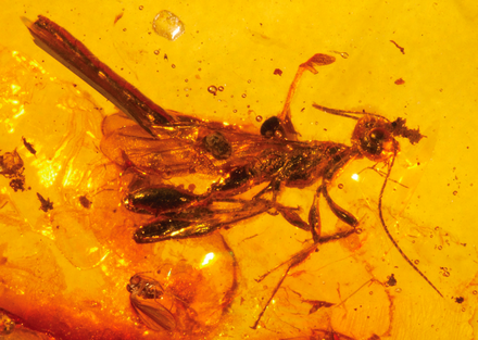 Male Electrostephanus petiolatus fossil from the Middle Eocene, preserved in Baltic amber Neotype male of Electrostephanus petiolatus Brues in Baltic amber (AMNH B-JWJ-260).png
