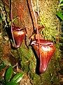 Nepenthes flava12.jpg