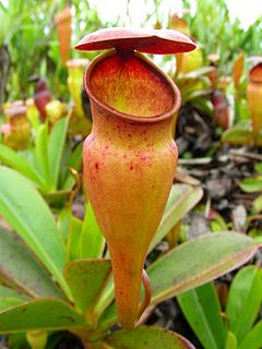<i>Nepenthes pervillei</i> species of plant