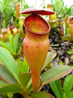 Nepenthes pervillei - An upper pitcher of Nepenthes pervillei