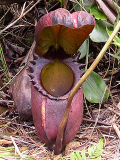Nepenthes rajah.jpg