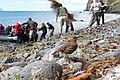Nesocichla eremita -Inaccessible Island, British overseas territory-8.jpg