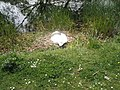 Nesting swan near houseboats on the Chichester Canal - geograph.org.uk - 793241.jpg