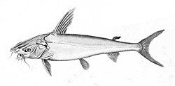 大头多齿海鲶