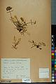 Neuchâtel Herbarium - Anthyllis cherleri - NEU000034027.jpg