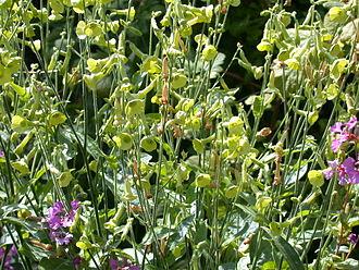 Nicotiana - Nicotiana langsdorffii