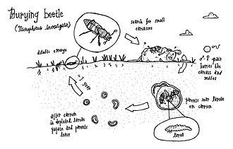Burying beetle - Burying beetle life cycle