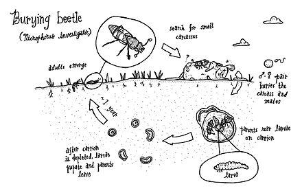 Burying Beetle Wikiwand