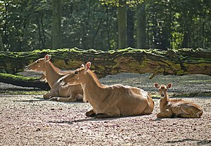 Nilgai - A group of nilgai resting
