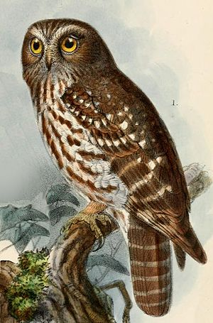Southern boobook - Illustration of N. boobook fusca by J. G. Keulemans