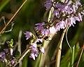 Nomada rufipes. Black-horned Nomad Bee (36248652131).jpg