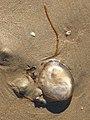 Noordwijk aan Zee- Kompaskwal (Chrysaora hysoscella).jpg