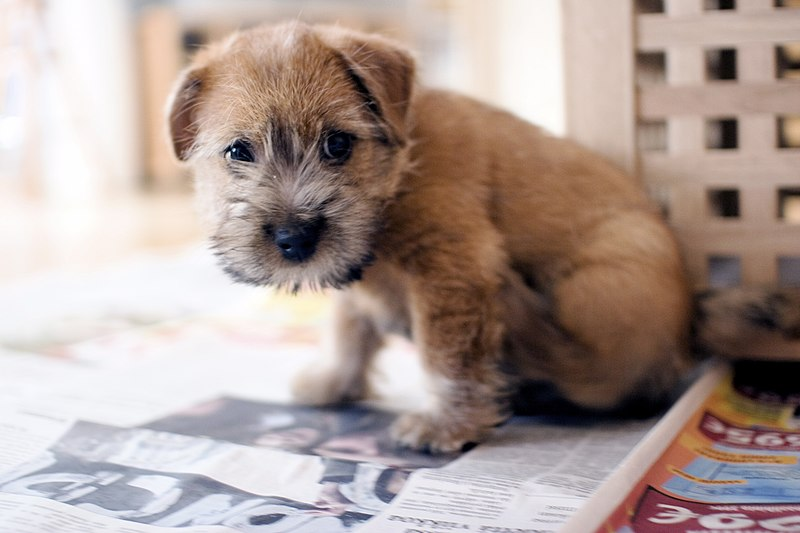 800px Norfolk Terrier 001 - >> K�pek Cinsleri <<
