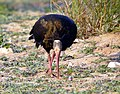 Northern Bald Ibis Geronticus eremita (8470613452).jpg