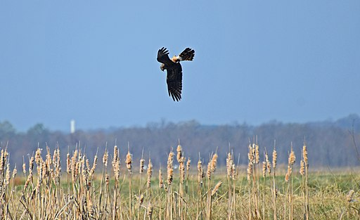 Northern Harrier (Circus hudsonius) doing acrobatics