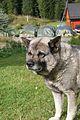 Norwegian Elkhound2.jpg