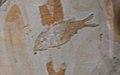 Notagogus cf imimontis - Cerin.jpg