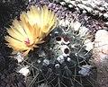 Notocactus buiningii.jpg