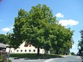 Nussbäume in St. Martin - Klagenfurt.jpg