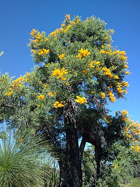 Nuytsia floribunda by Julia Gross.jpg