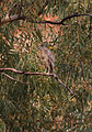 Nycticorax glen helen - Christopher Watson.jpg