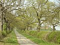 Oak-lined lane, Whitewood. - geograph.org.uk - 402937.jpg