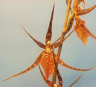 Oncidiinae Subtribe of flowering plants