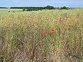 Oil seed rape near West Lavington - geograph.org.uk - 1380746.jpg
