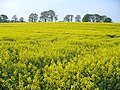 Oilseed Rape Field, Colemore - geograph.org.uk - 408107.jpg
