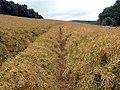 Oilseed rape field - geograph.org.uk - 493343.jpg