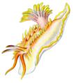 Okenia elegans.png