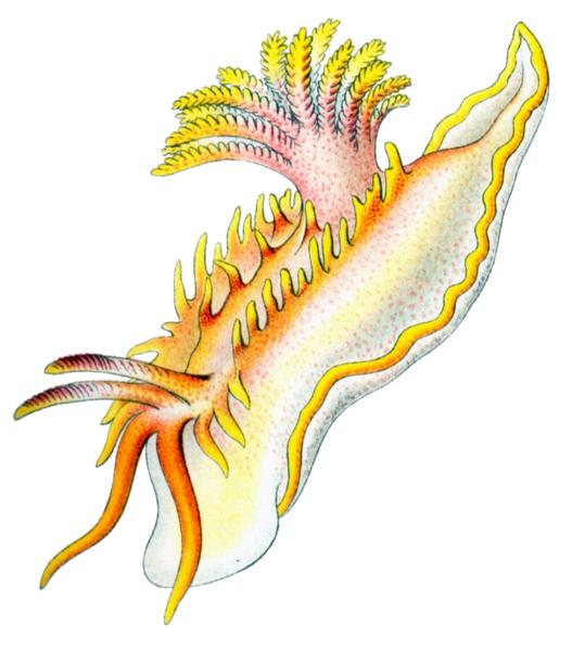 File:Okenia elegans.png