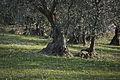 Old Olive tree.JPG