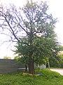 Old pear tree in Kyiv (May 2019) 1.jpg