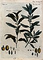 Olive (Olea europaea) and Russian olive (Elaeagnus angustifo Wellcome V0044252.jpg