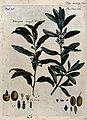 Olive (Olea europaea) and Russian olive (Elaeagnus angustifo Wellcome V0044252.jpg