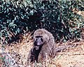 Olive Baboon (Papio Anubis) (8427530826).jpg
