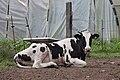 Olveiroa - Olveiroa - Dumbría - Galiza - vaca.jpg