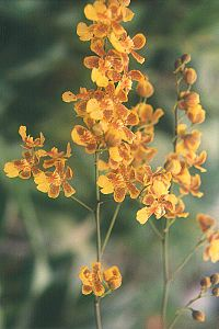 Oncidium harrisonianum