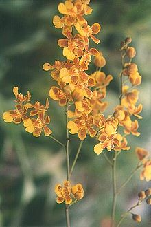 Oncidium harrisonianum.jpg