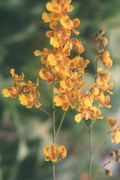 Oncidium harrisonianum
